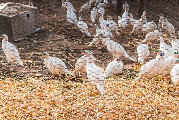 MacFarlane Pheasants, Janesville, Wis.