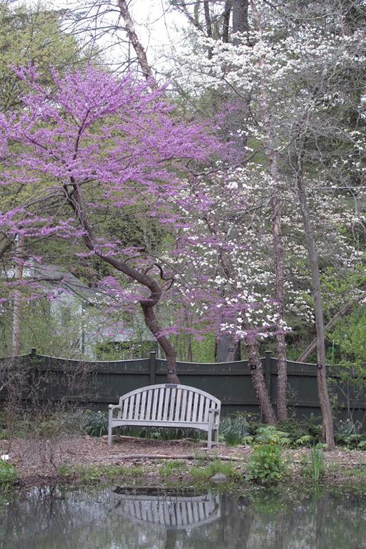 Berkshire Botanical Garden redbud