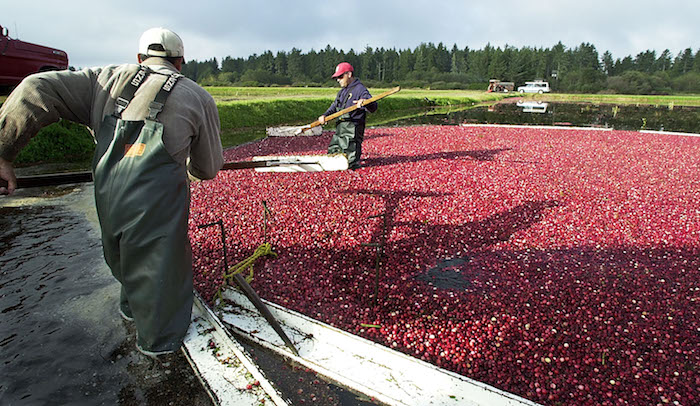 Cranberry Harvest at Cranguyma Farms, Long Beach, Wash.