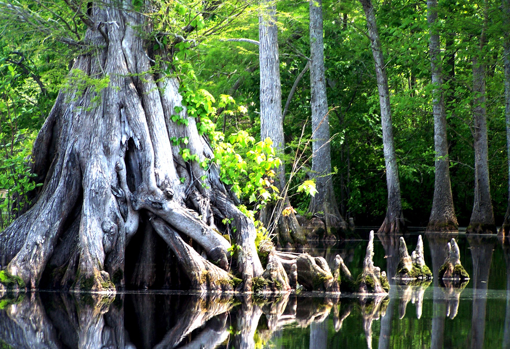 Lake Drummond at the Great Dismal Swamp National Wildlife Refuge - Cypress Knees